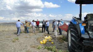 Arguvan'da deneme ekimi yapılan çerezlik kabağın hasadı yapıldı