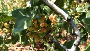 Menengiç ağaçlarına aşılanan Antep fıstığının yöreye katkı sağlaması hedefleniyor